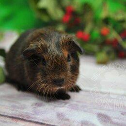 Грызуны - Морская свинка агути, 0