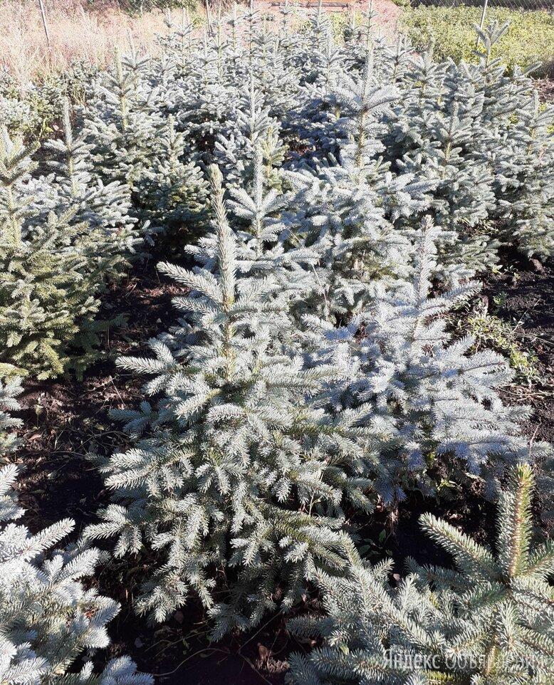 Ель колючая голубая  по цене 500₽ - Рассада, саженцы, кустарники, деревья, фото 0