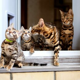 Кошки - Бенгальская кошка , 0