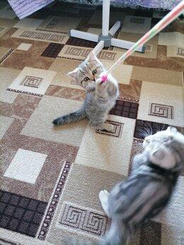Кошки - Шотландские котята , 0