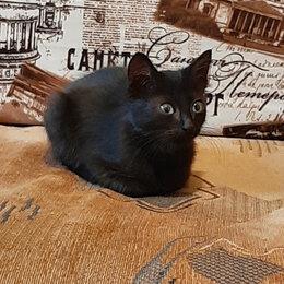 Животные - Черный гладкошерстный котенок, 0