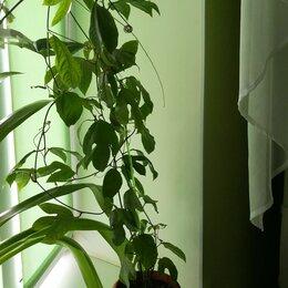 Комнатные растения - Пассифлора, 0
