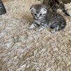 Кошки по цене 2000₽ - Кошки, фото 9