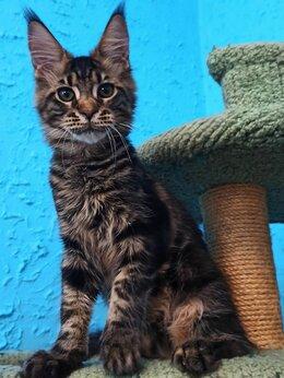 Кошки - Мальчик Мейн Кун , 0