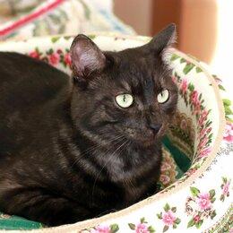 Кошки - Британский кот в дар, 0