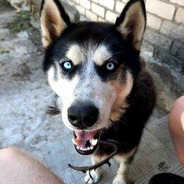 Собаки - Сибирский хаски, 2,5 года, кастрирован, 0