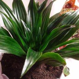 Комнатные растения - Драцена Канзи, 0