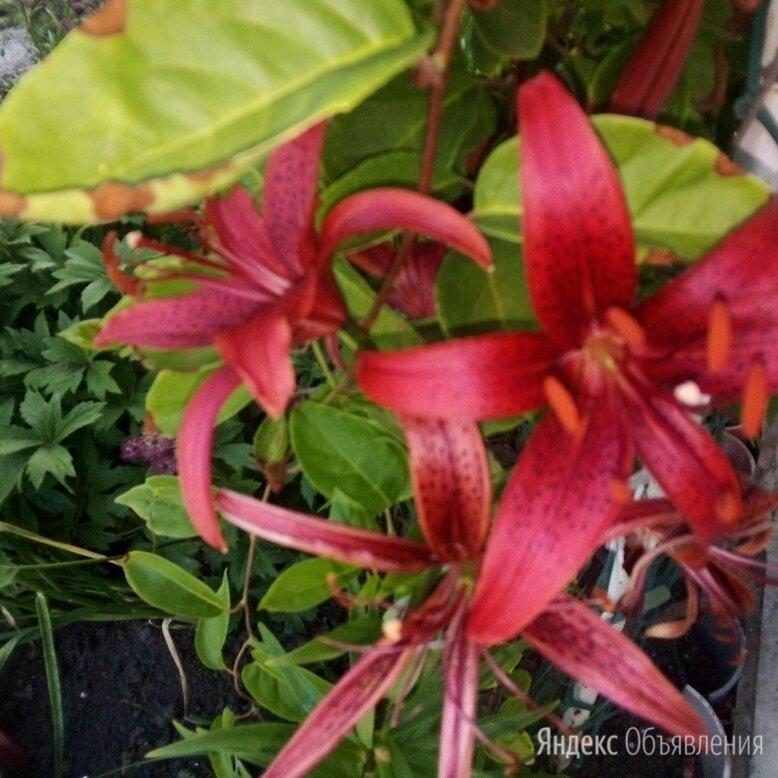 Лилии с луковицами. по цене 50₽ - Луковичные растения, фото 0