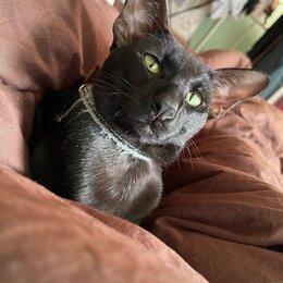 Услуги для животных - Ориентальный кот вязка, 0