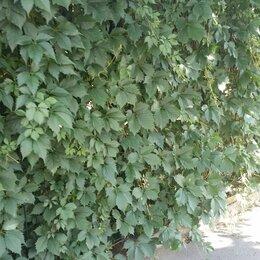 Рассада, саженцы, кустарники, деревья - Девичий виноград пятилисточковый, 0