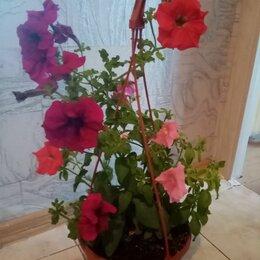 Комнатные растения - Петунии в подвесном кашпо , 0