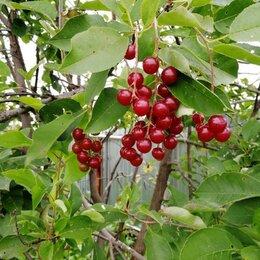 Рассада, саженцы, кустарники, деревья - Красная черёмуха, 0
