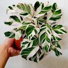 Комнатные растения - Калатея white fusion(домашний маточник) , 0