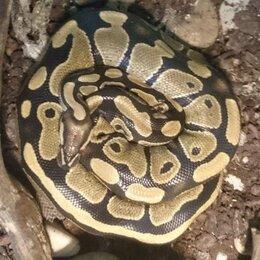 Рептилии - Королевский питон , 0