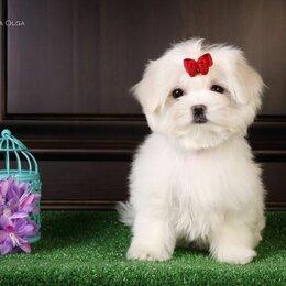 Собаки - Щенки мальтийской болонки(Maltese) jn Ирлайн-дог, 0