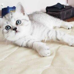 Кошки - Британские котята серебристый шиншилла, 0