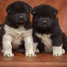 Собаки - Щенки Американская акита, 0