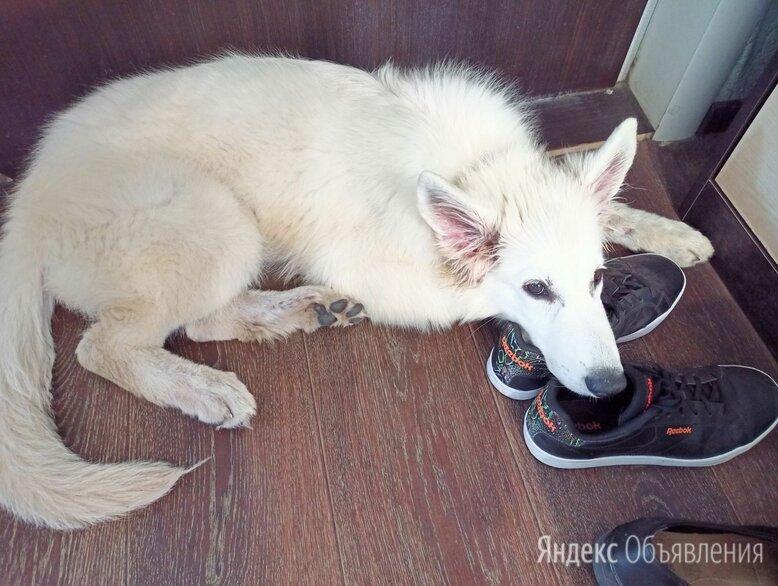 Белая швейцарская овчарка по цене 10000₽ - Собаки, фото 0