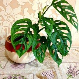 Комнатные растения - Монстера obliqua (monstera), 0