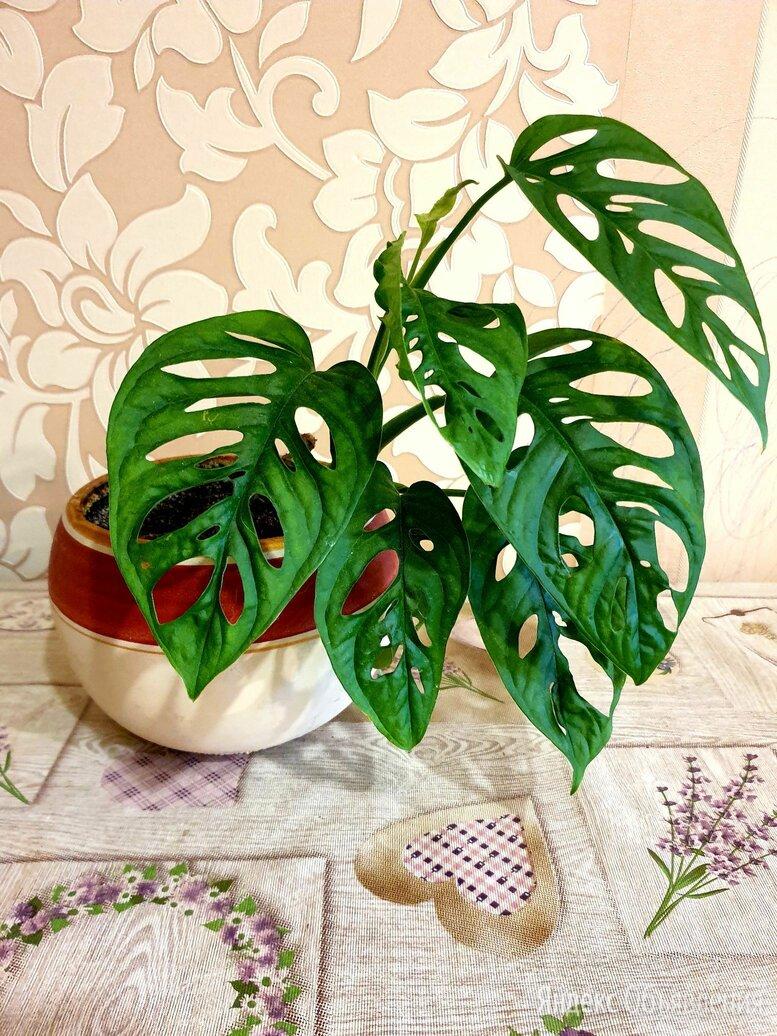 Монстера obliqua (monstera) по цене 1000₽ - Комнатные растения, фото 0