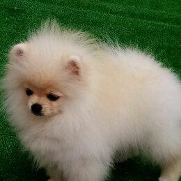Собаки - Шпиц померанский карликовый белый, 0