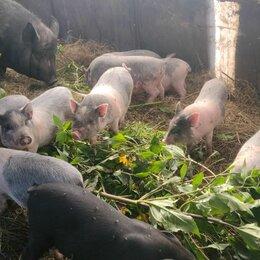 Сельскохозяйственные животные и птицы - Продам Вьетнамских поросят, 0