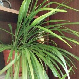 Комнатные растения - Хлорофитум , 0