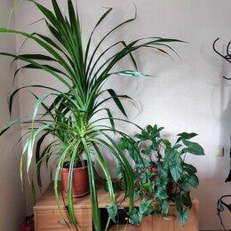 Комнатные растения - Крупные комнатные растения, 0