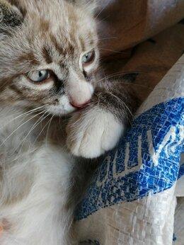 Кошки - Котята Невской Маскарадной , 0
