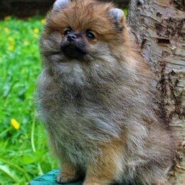 Собаки - Шпиц немецкий, 0