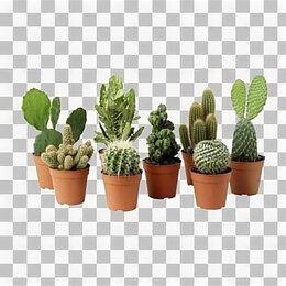 Комнатные растения - Опунция вульгарис кактус, 0