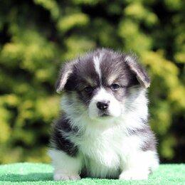 Собаки - Щенки вельш корги пемброк в Калининграде, 0