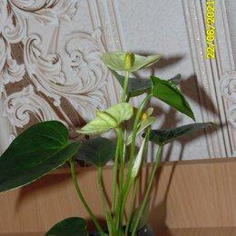 Комнатные растения - Антуриум Ваниль. , 0