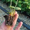 Рассада клубники. Крупноплодные сорта по цене 15₽ - Рассада, саженцы, кустарники, деревья, фото 0