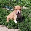 Щенки американского стаффордширского терьера в питомнике по цене 30000₽ - Собаки, фото 2
