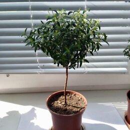 Комнатные растения - Мирт , 0