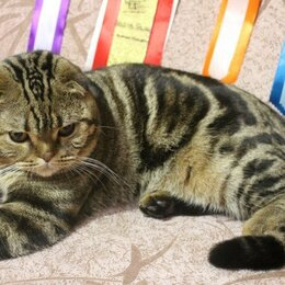 Услуги для животных - Вязка с вислоухим мраморным котом, 0