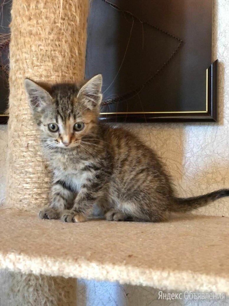Кроху-кошечку не приняли в семье взрослые кошки.... по цене даром - Кошки, фото 0