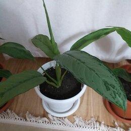 Комнатные растения - Гибрид спатифиллум с аглаонемой, 0