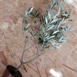 Комнатные растения - Оливковое дерево, 0