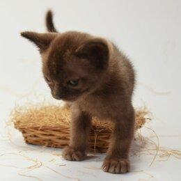 Кошки - Бурманские котята, 0
