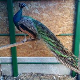 Птицы - Индийский павлин, 0