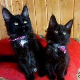 Кошки - Роскошные Мейн-куны почти всех окрасов, 0