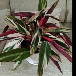 Комнатные растения - Строманта триколор , 0