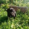 Русский охотничий спаниель по цене 6000₽ - Собаки, фото 4