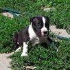 Щенки американского стаффордширского терьера в питомнике по цене 30000₽ - Собаки, фото 1