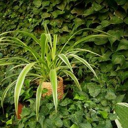 Комнатные растения - Хлорофитум в вязаном горшке, 0