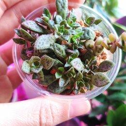 Комнатные растения - Крассулы | Crassula , 0