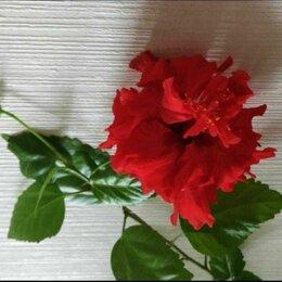 Комнатные растения - Красный махровый гибискус, 0
