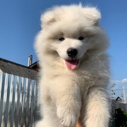 Собаки - Самоедская собака , 0